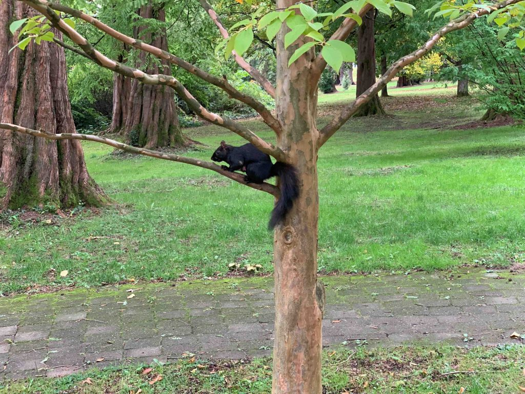 My first time seeing a black squirrel.