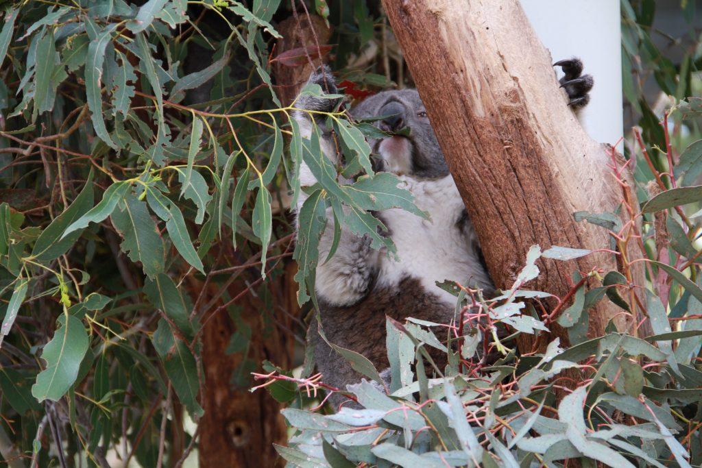 Eucalyptus noms. Koala eats eucalyptus at Tidbinbilla Nature Reserve.