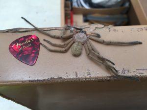 Dead Huntsman Spider